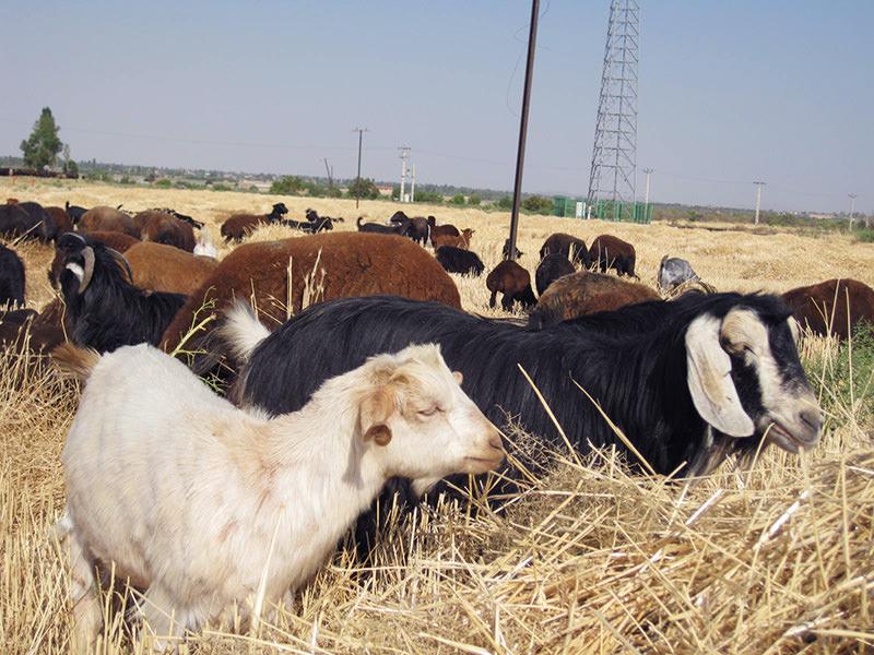 ギャッベの原料となる羊の毛